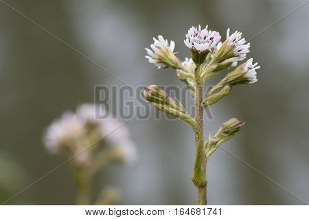 Winter heliotrope (Petasites fragrans) in flower. A female invasive plant with scented pinkish white flowers in the daisy family (Asteraceae)