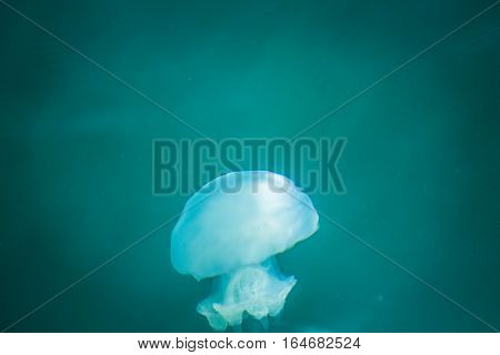 Jellyfish In The Sea