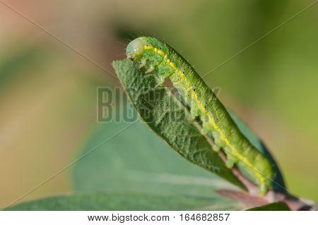 Beautiful yellow-green caterpillar on a green leaf