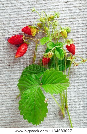 Wild strawberry on a gray background flat lay. Branches with green listyam and berries