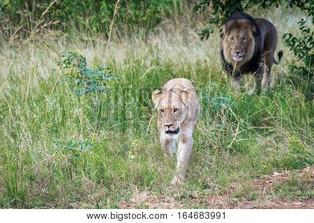 Male and female lion coming from the bushes after mating