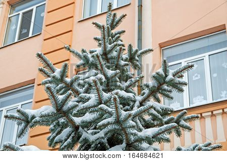 Spangled cold snow spruce on the background wall of the warm house