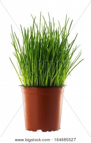 Wild onion in a brown flower pot isolated on white background