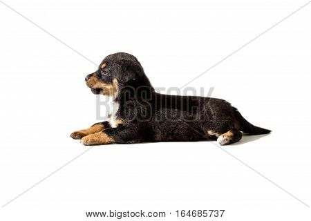 small puppy lying on a white background