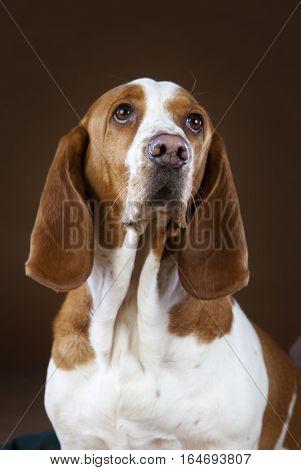 mixed basset hound dog portrait in studio