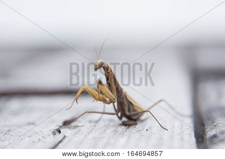 Closeup image of mantis. Soothsayer or mantis insect. Mantis portrait.