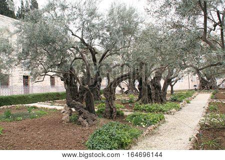 Olive Trees in Garden Near Gethsemane (Olive Press) in Jerusalem, Israel
