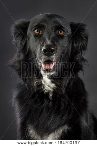 Mixed border collie 3/4 head looking straight ahead