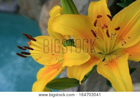 Yellow Day Lillies flowering beside a swimming pool
