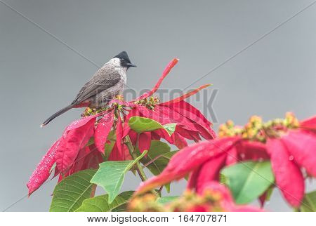 Beautiful bird Sooty headed Bulbul perched on the flowers