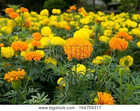 Yellow and orange marigold flowers in garden.
