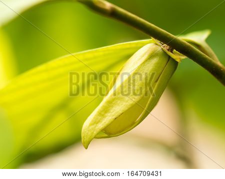 Ylang-ylang flower in nature or Friesodielsia desmoides (Craib) Steenis.