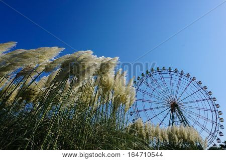 Waving pampas grass with ferris wheel under clear blue sky
