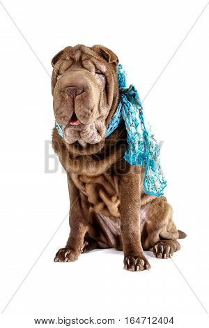 Shar pei dog with blue light scarf on neck isolated on white background