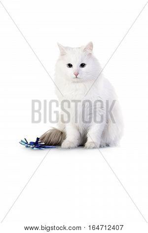 Fluffy white angora kitten isolated on white background