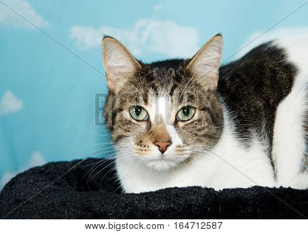 Portrait of Black grey and white tabby cat laying in on a black blanket looking directly at viewer. Blue background sky with white clouds. Copy space.