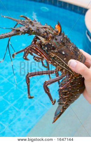 Lobster In The Hand