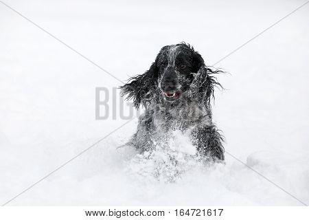 English Cocker Spaniel Dog Playing In Snow Winter