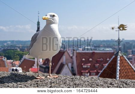 European herring gull ( Larus Argentatus) with old city of Tallinn on background