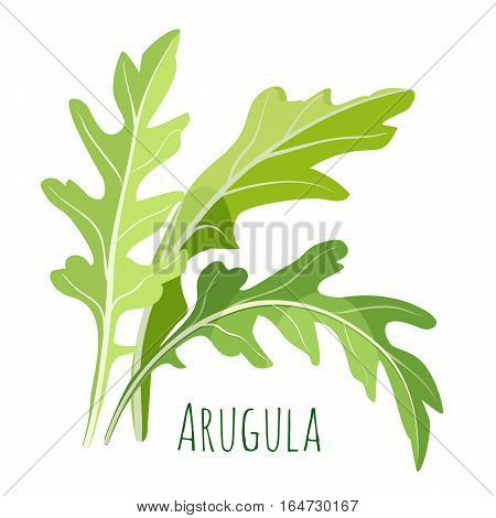 Green arugula leaves with colourful inscription under it isolated on white. Vector cartoon illustration in flat design of useful greenish plant for human health and tasty element for salads.