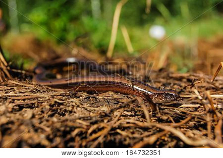 Blindworm or slow worm basking in the sun