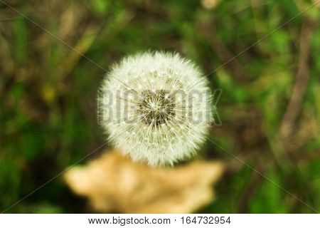 Dandelion fluff. Nature green and white background