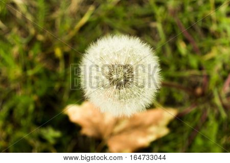 Dandelion fluff, green and white background, nature concept
