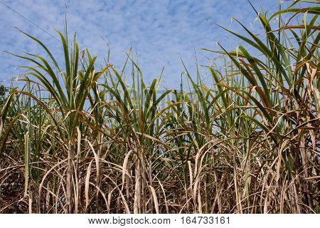 Sugar Cane Plantations In The Green Garden