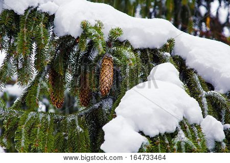 spruce cones in winter. Seasons concept background