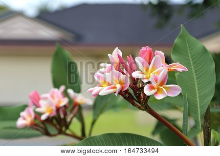Exotic tropical frangipani or plumeria flowers in summer time