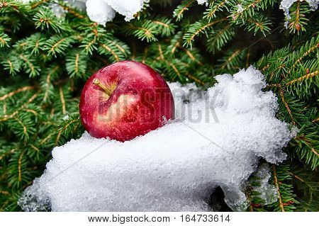 Snow pine and apple. Wintertime concept background