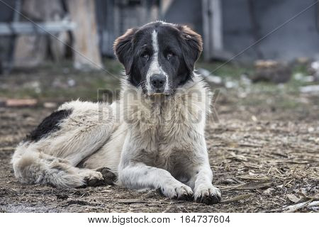 The Bucovina Shepherd Dog Is A Large And Strong Rustic Dog Which