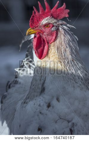 Close Up Portrait Of White Rooster At Organic Chicken Farm. Bio Farm With Healthy Animals Living Fre