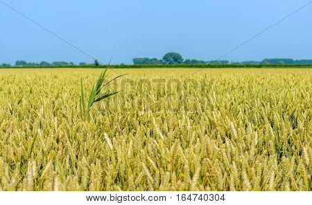 Yellow wheat field in the sun. The wheat is almost mature to be harvested. A striking green reed plant protruding above the field.