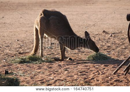 kangaroo at silverton in the outback of australia