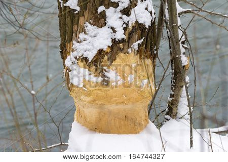 Gnawed Tree in Winter. Work of a Beaver
