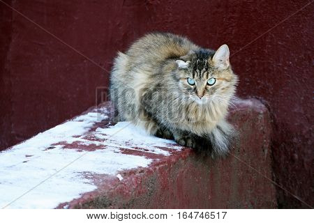 Big fluffy grey cat. Pet sitting near the old concrete walls of the house. The cat damaged one crooked ear.
