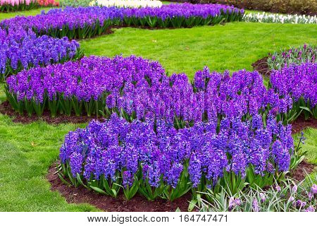 Colorful purple, blue, lilac hyacinth flowers blossom in spring garden
