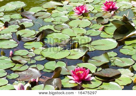 beautiful pink water lily and frog