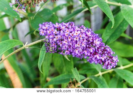 Buddleja Davidii Butterfly Bush In Bloom