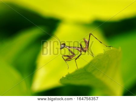 a very tiny specie of a praying mantis on top of a leaf