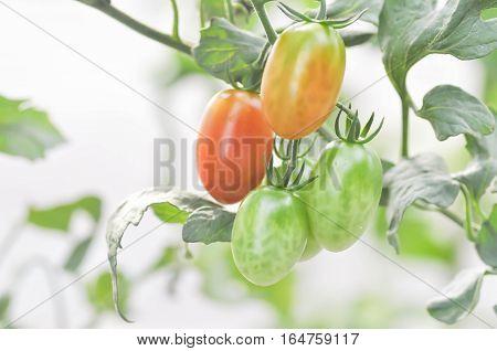 fresh tomato plant or cherry tomato in the vegetable garden