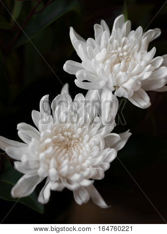 COLOR PHOTO OF CHRYSANTHEMUMS, SOMETIMES CALLED MUMS OR CHRYSANTHS