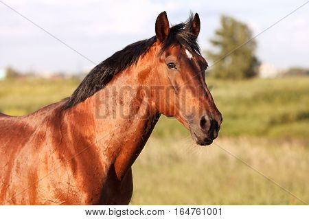 Portrait of a bay horse in the background field. Horizontal.
