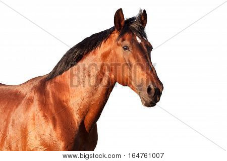 Portrait of a bay horse on a white background. Horizontal.