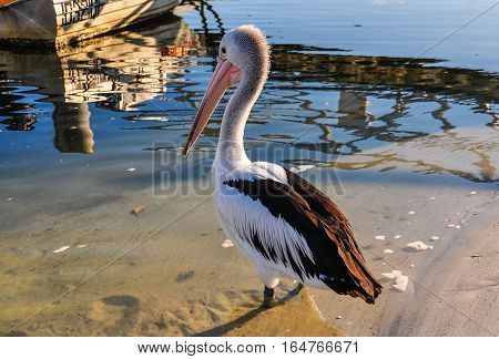 Pelican On The Shore In Tin Can Bay, Australia