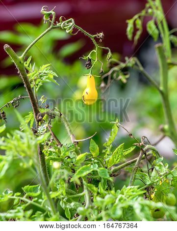 Small yellow cherry tomato in the garden
