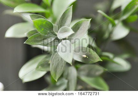 Israeli Ruscus Green leaves ,  Israeli Ruscus Green