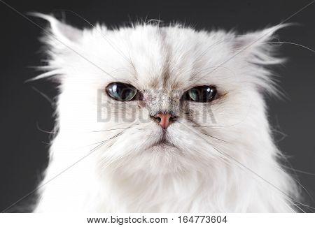 Serios white cat head on in studio