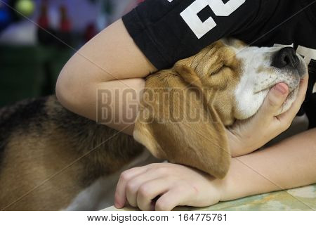 Dog breed the Beagle, basking in the arms of his little master